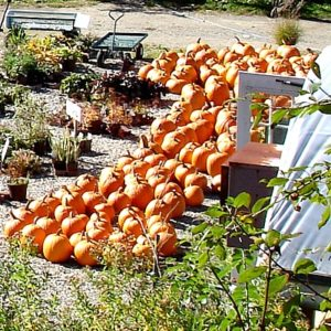 More pumpkins waiting to be carved