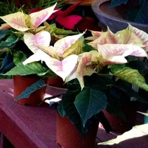 Lovely pointsettias